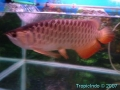 phoca_thumb_l_red tail golden arowana