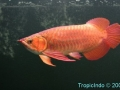 phoca_thumb_l_super red arowana 2