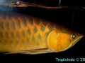 phoca_thumb_l_super red arowana 4