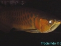 phoca_thumb_l_super red arowana 6