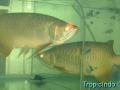 phoca_thumb_l_super red arowana 7
