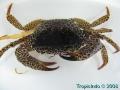 phoca_thumb_l_crab_1