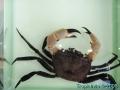 phoca_thumb_l_crab_3