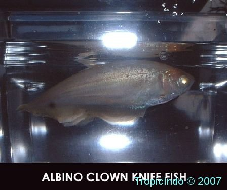 Freshwater Fish – TropicIndo Albino Clown Knife Fish
