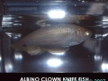 phoca_thumb_l_albino clown knife fish