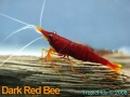 phoca_thumb_l_dark red bee_1