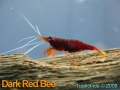 phoca_thumb_l_dark red bee_2