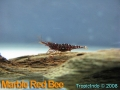 phoca_thumb_l_marble red bee_2