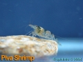 phoca_thumb_l_piva shrimp_1