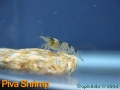 phoca_thumb_l_piva shrimp_4