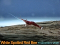 phoca_thumb_l_white spotted red bee_2
