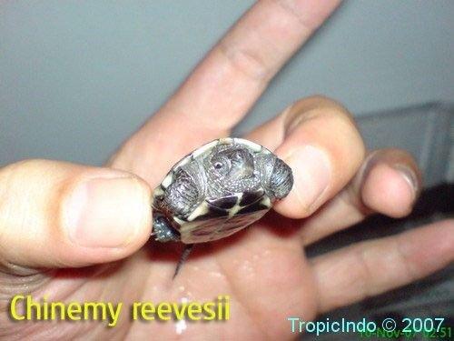 phoca_thumb_l_chinemy reevesii