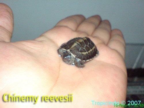 phoca_thumb_l_chinemy reevesii2