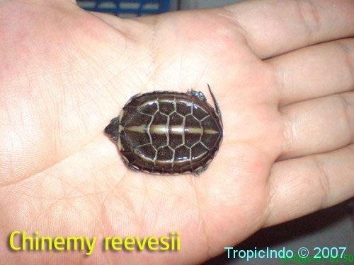 phoca_thumb_l_chinemy reevesii3