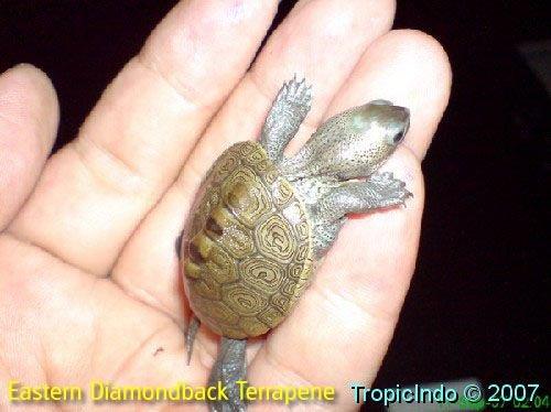 phoca_thumb_l_eastern diamondback terrapene 1