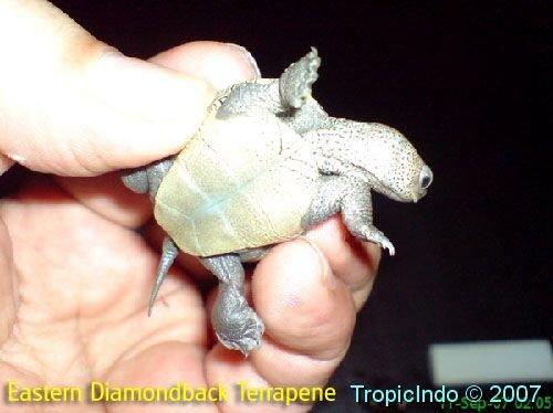 phoca_thumb_l_eastern diamondback terrapene 2