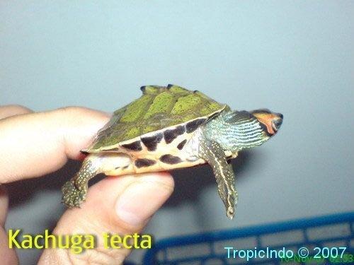 phoca_thumb_l_kachuga tecta2