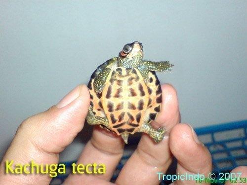 phoca_thumb_l_kachuga tecta4