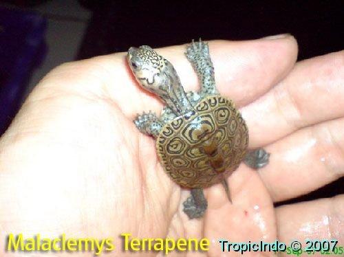 phoca_thumb_l_malaclemys terrapene 1