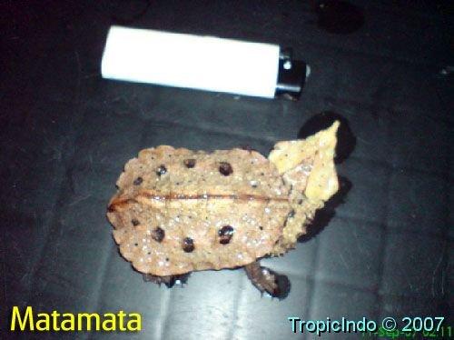 phoca_thumb_l_matamata 1