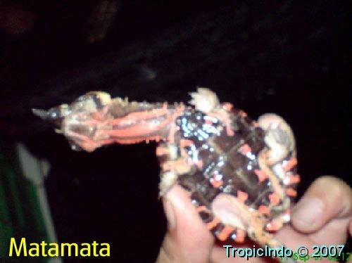 phoca_thumb_l_matamata 2