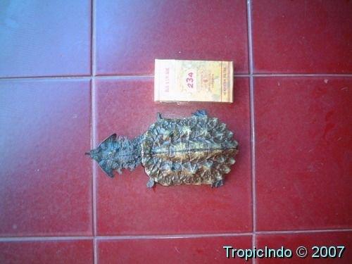 phoca_thumb_l_matamata turtle
