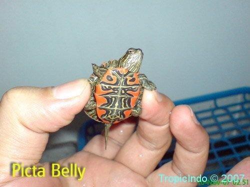phoca_thumb_l_picta belly2