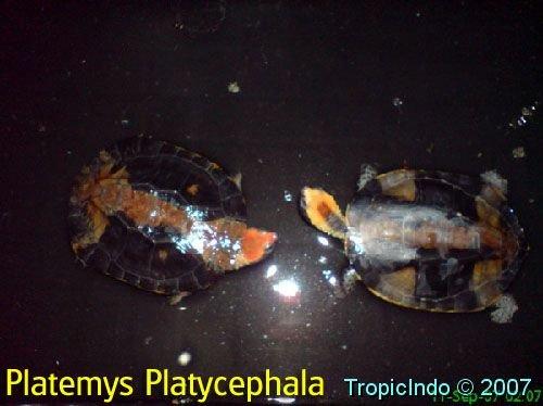 phoca_thumb_l_platemys platycephala 1