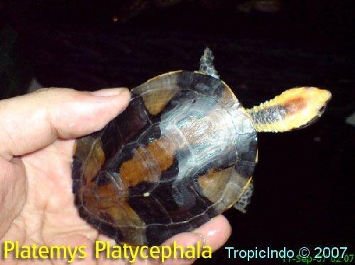 phoca_thumb_l_platemys platycephala 2