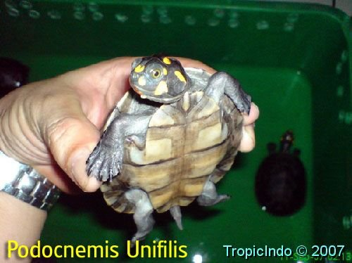 phoca_thumb_l_podocnemis unifilis 1
