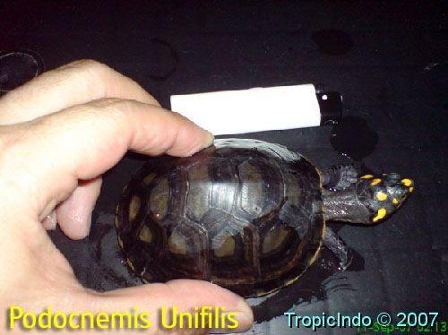 phoca_thumb_l_podocnemis unifilis 2