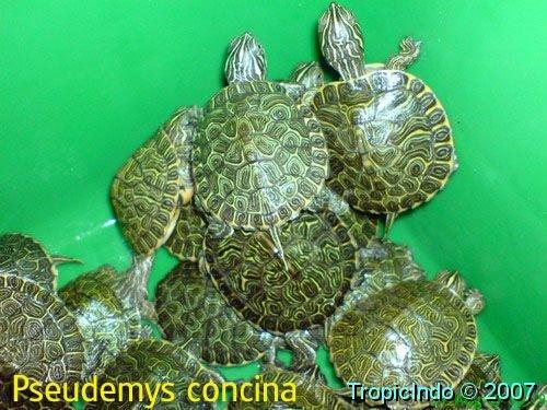 phoca_thumb_l_pseudemys concina