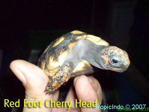 phoca_thumb_l_red foot cherry head