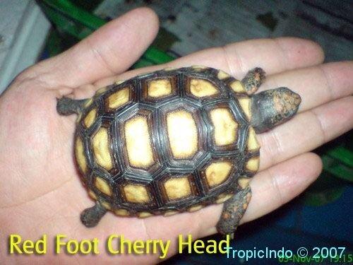 phoca_thumb_l_red foot cherry head2