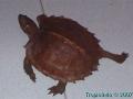 phoca_thumb_l_heosemys spinosa 3