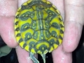 phoca_thumb_l_pastel red-eared slider 6