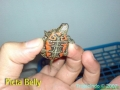 phoca_thumb_l_picta belly2