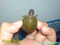 phoca_thumb_l_picta belly3