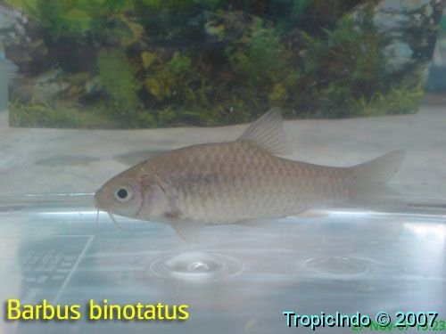 phoca_thumb_l_barbus binotatus