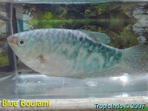 phoca_thumb_l_blue gourami