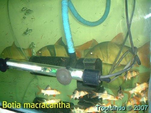 phoca_thumb_l_botia macracantha