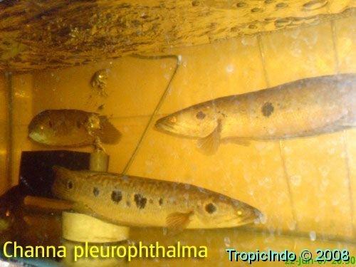 phoca_thumb_l_channa pleurophthalma