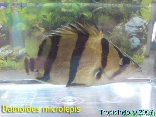 phoca_thumb_l_datnoides microlepis 002