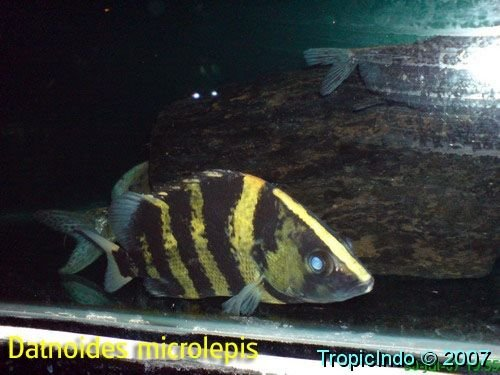 phoca_thumb_l_datnoides microlepis