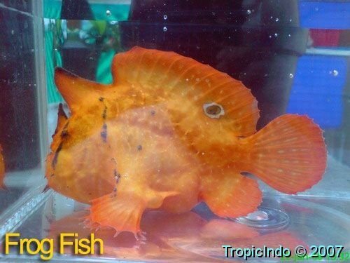 phoca_thumb_l_frogfish 002