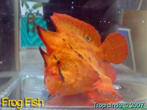 phoca_thumb_l_frogfish 003