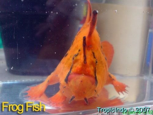 phoca_thumb_l_frogfish 004