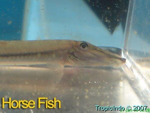 phoca_thumb_l_horse fish02