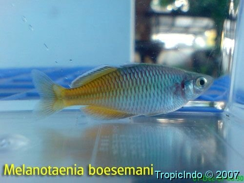phoca_thumb_l_melanotaenia boesemani 002