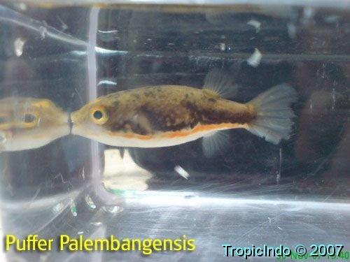 phoca_thumb_l_puffer palembangensis